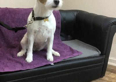 Gepflegter Hund in Warteposition